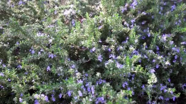 Svěží a kvetoucí rozmarýn rostliny v bylinkové zahradě