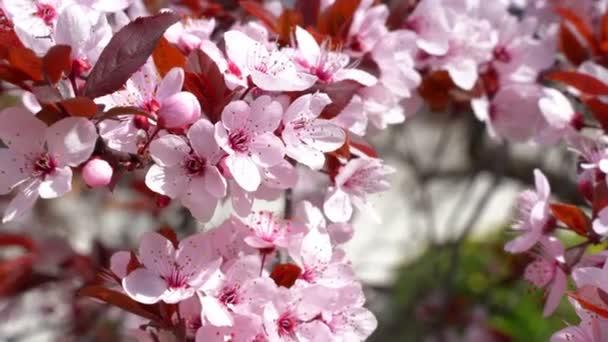 Japonská třešeň nebo sakura, růžový květ