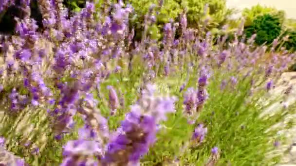Close up background of lavender flowers field. Close up backgrounds of blooming