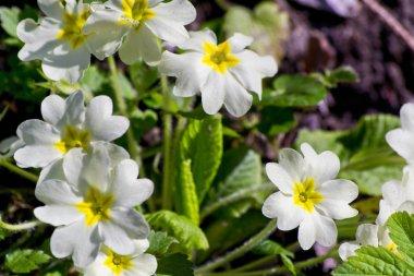 soft focus of white and yellow primrose beautiful flowers in a garden -  primula vulgaris, primulaceae