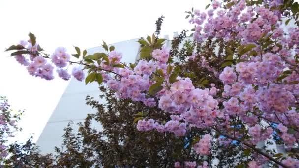 Sakura jarní květiny. Jarní barvy pozadí. Krásné přírodní scéna s kvetoucí strom sakura ve městě v megalopolis. Japonská zahrada