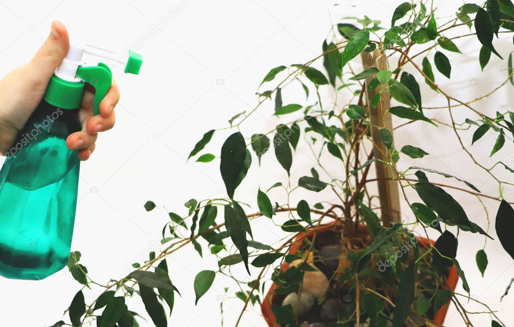 Ficus benjamin. Care for ficus at home