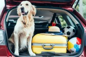 close up view of dog sitting in car trunk with wheeled bag, straw hat and balls for travel