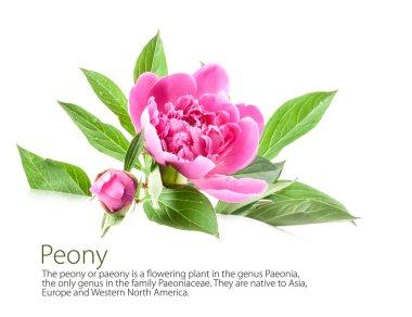 Peony flowers isolated on white