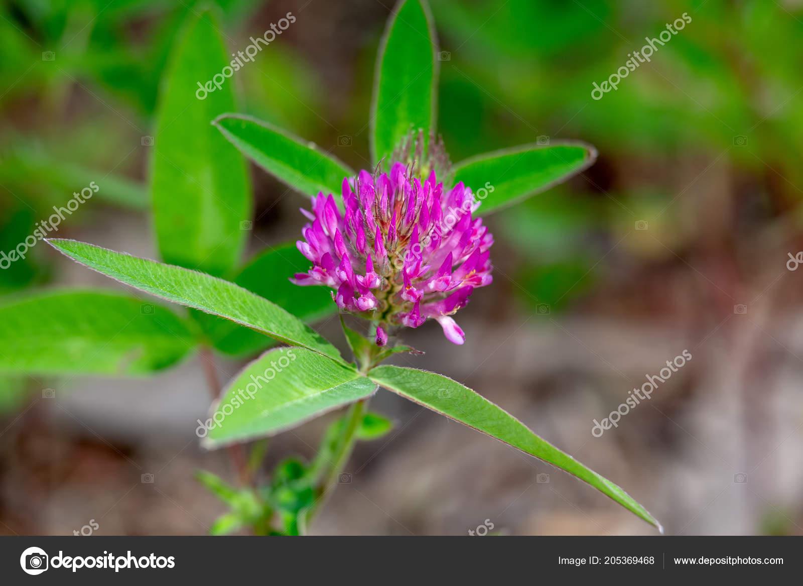 Fleur De Trefle Rouge Sur Fond Vert Photographie Lana137 C 205369468