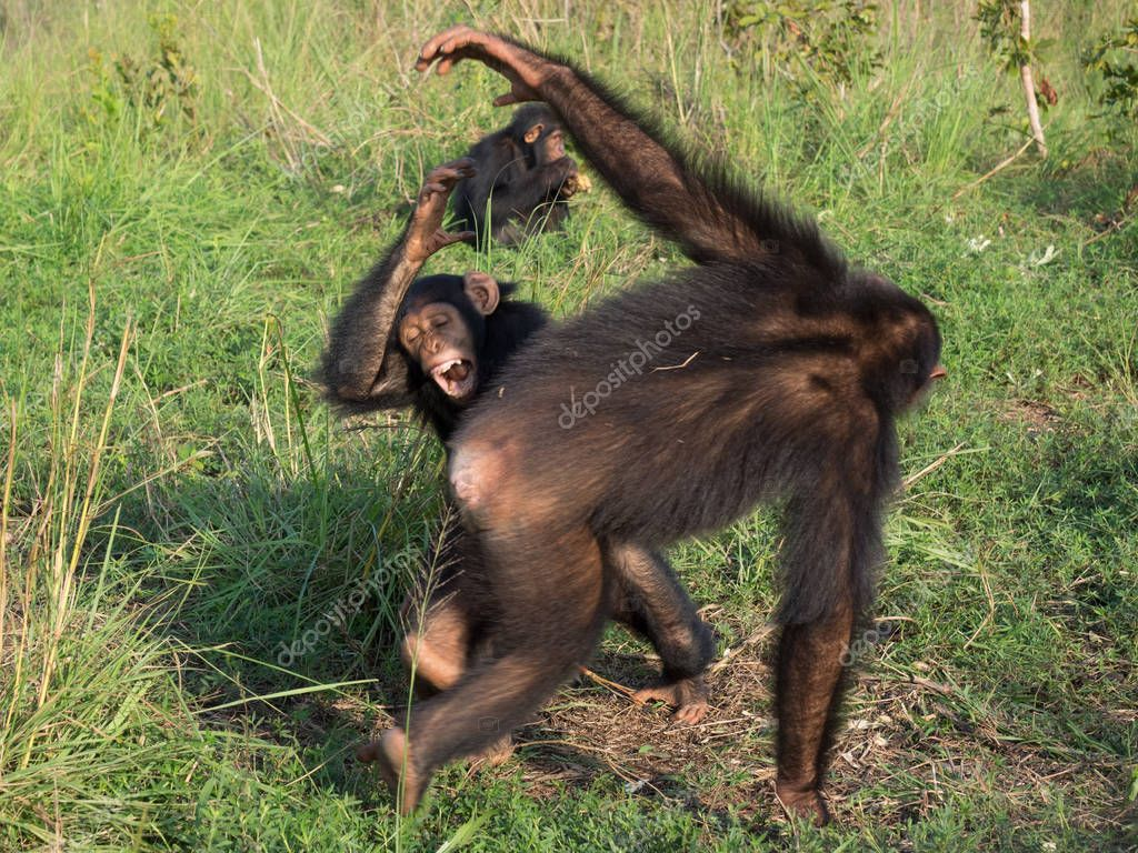 Chimpanzee consists of two extant species: the common chimpanzee and the bonobo. Together with humans, gorillas and orangutans they are part of the family Hominidae (the great apes). (Pan troglodytes)