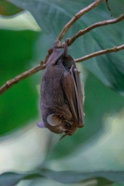 Megabat sleeping hanged upside down(Megachiroptera)