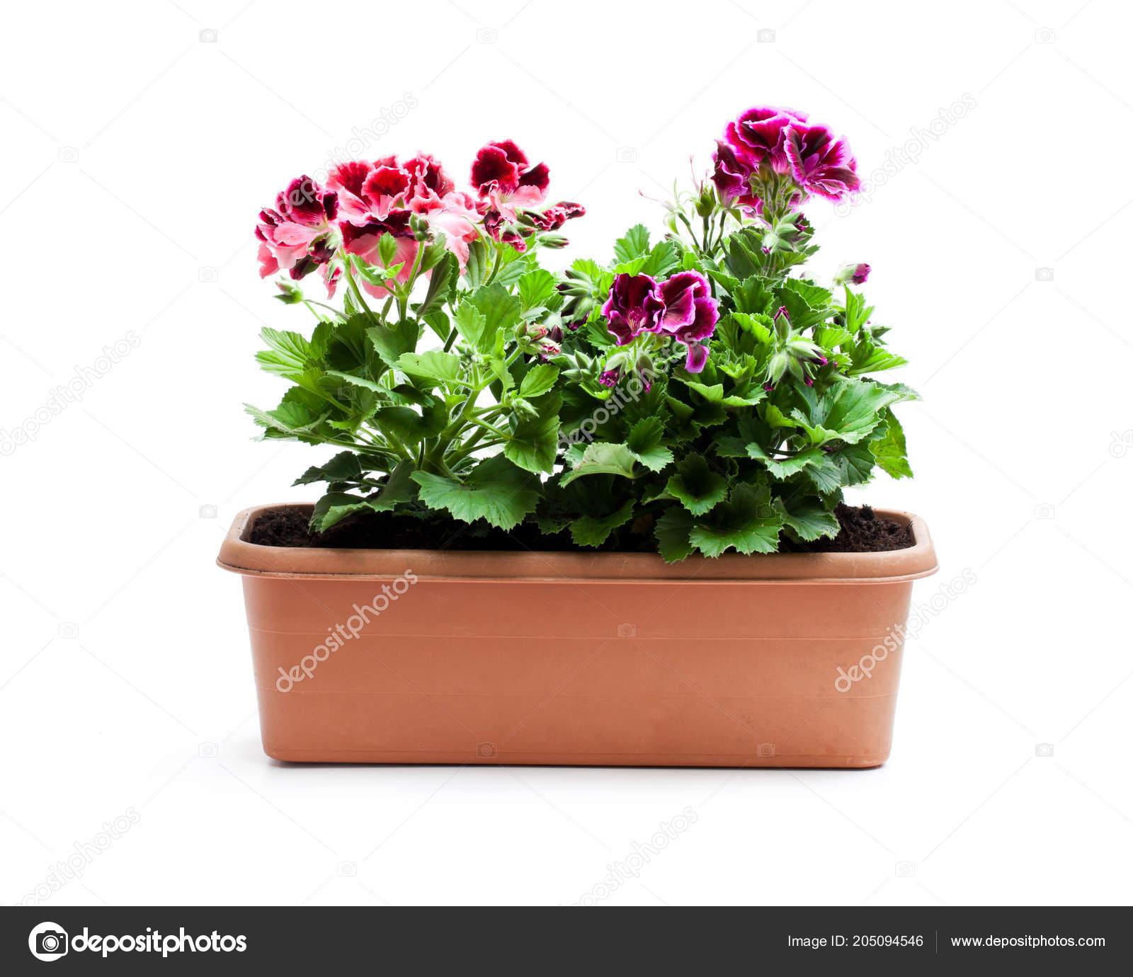 Fleurs Colorees Pelargonium Pot Fleurs Rectangulaire Isole Sur Blanc