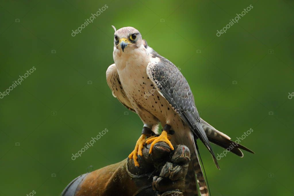 Migrant falcon sitting on falconic gloves. The Peregrine Falcon has the ability to reach speeds over 200 mph making it the fastest animal in the world. Close up of a Peregrine Falcon fastest bird of prey in the world.