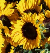 Perfect Big Sunflowers with Leafs closeup Outdoors. Focus on Foreground