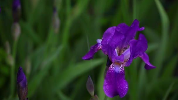 Iris flower summer garden