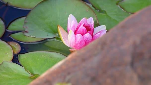 Rózsaszín tavirózsa kert