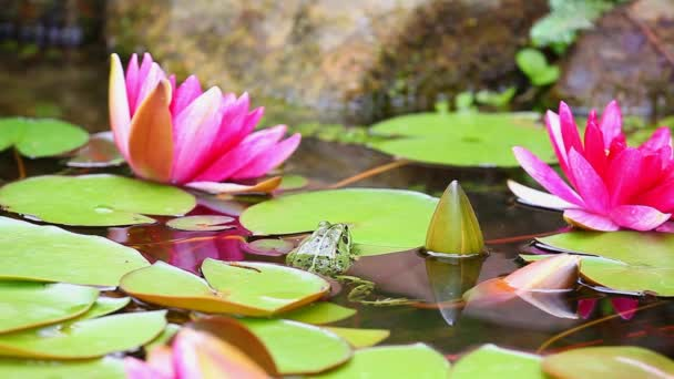 Pink Water lily frog garden