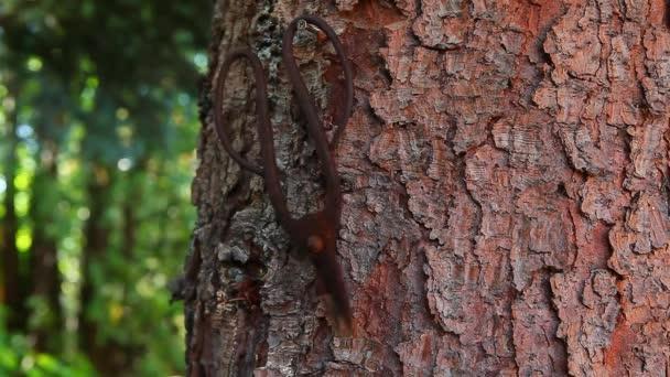 Old scissors tree background footage