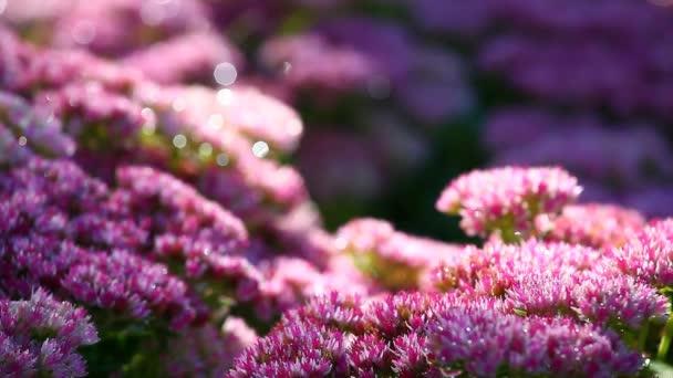 Lila virágok ősszel kerti hd felvétel