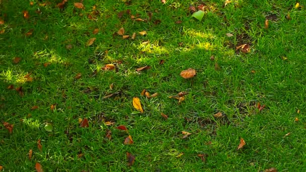 Green Grass Tree shadow autumn leafs hd footage