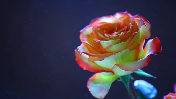 Rózsa virág por senki hd felvétel sötét háttér