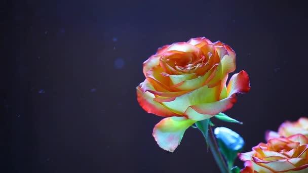 Rose Blume Staub niemand hd Filmmaterial dunkler Hintergrund