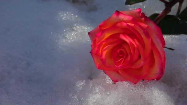 jedna červená růže květ sníh nikdo hd záběry