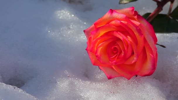 one red rose flower snow nobody hd footage