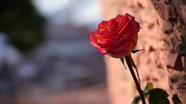 red one rose flower stone background spring sun shadow nobody hd footage