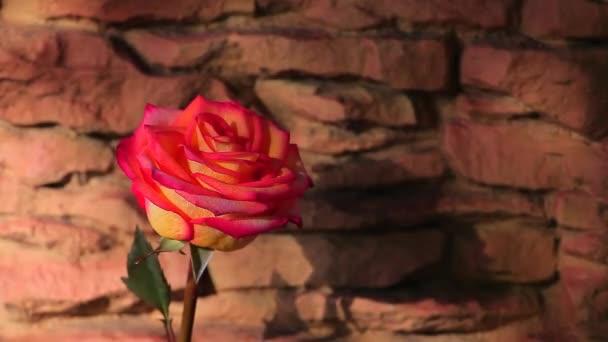 červená jeden růžový květ kamenné pozadí jarní slunce stín nikdo hd záběry