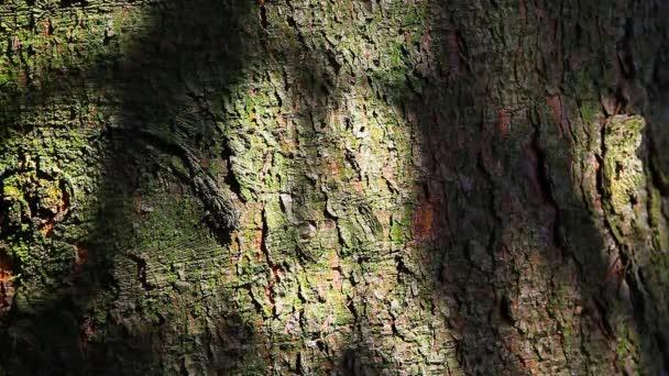 fir tree background nobody hd footage spring season