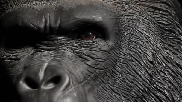 Gorilla fej sötét háttér