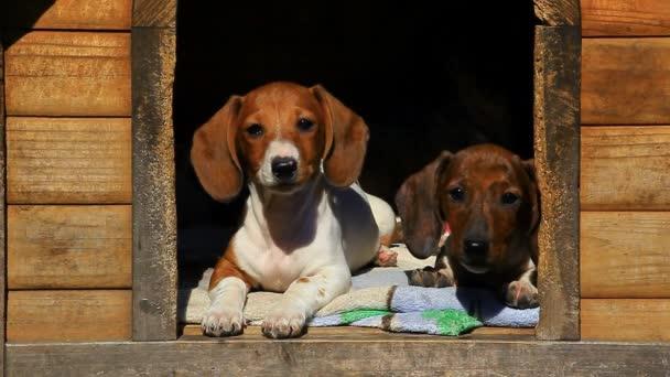 Dačšundské štěně CHS HD záběry