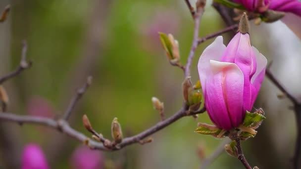 Růžový šácholan strom květinový Park HD-nikdo