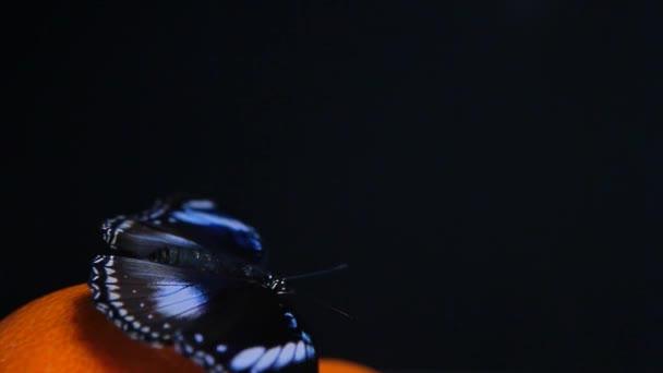 Schmetterling Mandarine dunklen Hintergrund hd Filmmaterial