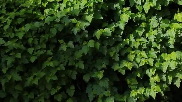 summer virginia creeper background wind nobody hd footage