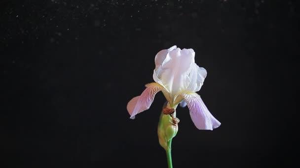 iris flower dust dark background nobody hd footage