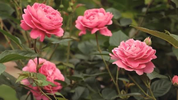 pink rose flower garden background hd footage