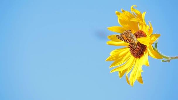 sunflower farfalla blu cielo sfondo