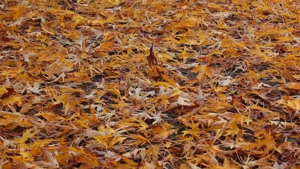 podzim javorový list asfalt silnice hd záběry