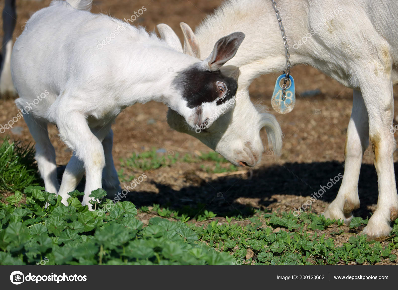 Close On A Nigerian Dwarf Goat And Another Standing In The Pasture Butting Heads During Round Of Playful Activity Photo By Modfos