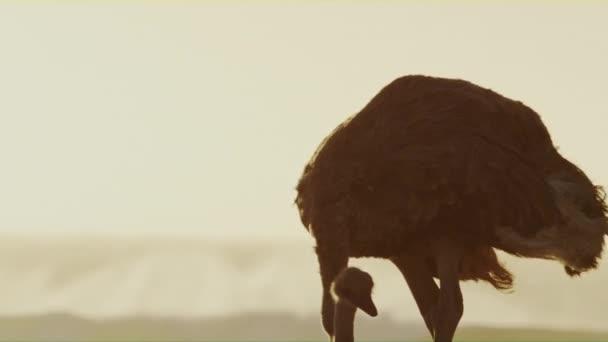 An ostrich looking for food on a windy cost of South Africa.