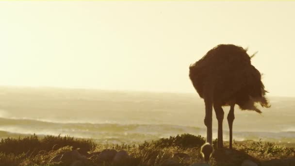 A view of an ostrich foraging for food along the coast of South Africa during an afternoon.