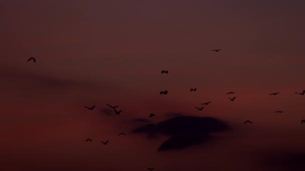 eine kolonie von fuchsfledermäusen, die über den sonnenuntergangshimmel fliegen, komodo indonesien