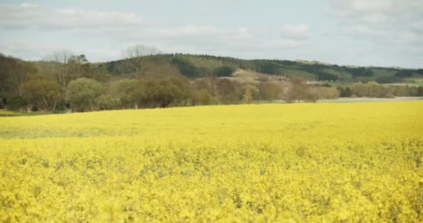 Canola Fields and Green Hills Under the Beautiful Clear Sky