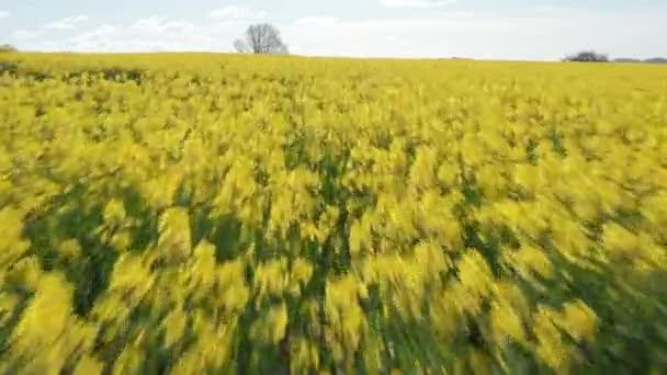 Kvetoucí Canola Field za bílého dne v Dánsku