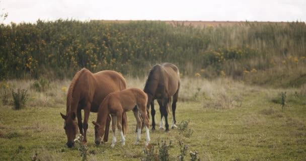 Foal And Wildhorses Grazing In Meadow