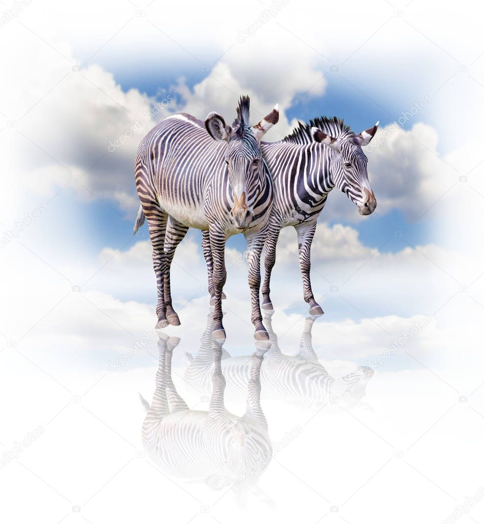 A group of zebras isolated on the white background in Africa. Behind them is the blue sky. Their shadow is reflected on the ground. It is a natural background with African animals.