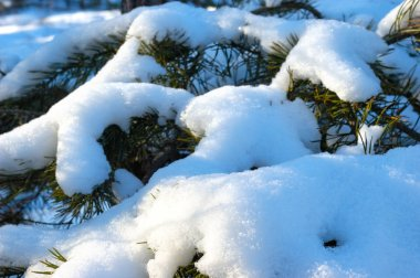 Close-up of beautiful smooth snowy fir branches