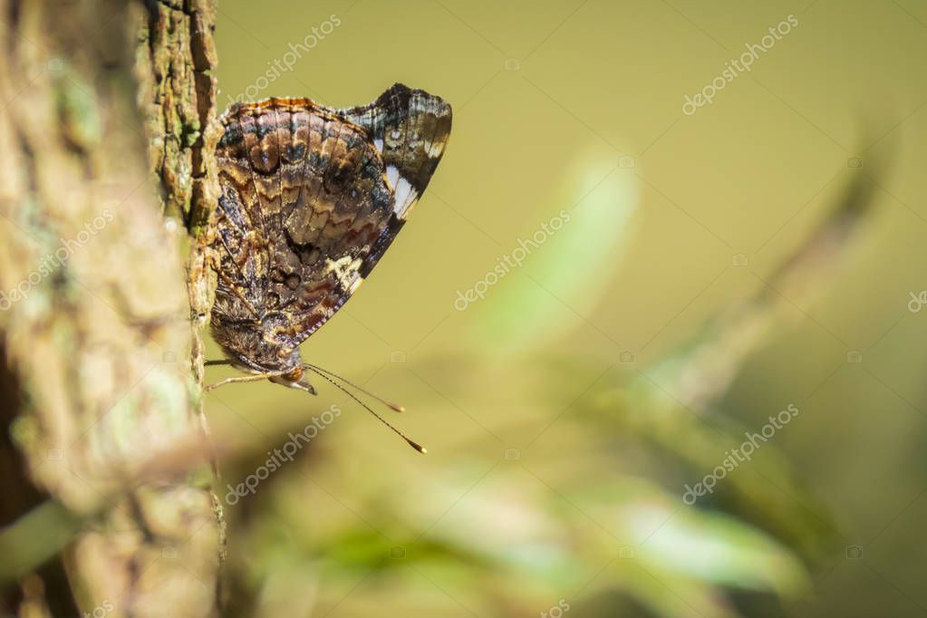 Red Admiral butterfly, Vanessa atalanta, with camouflage color resting on a tree