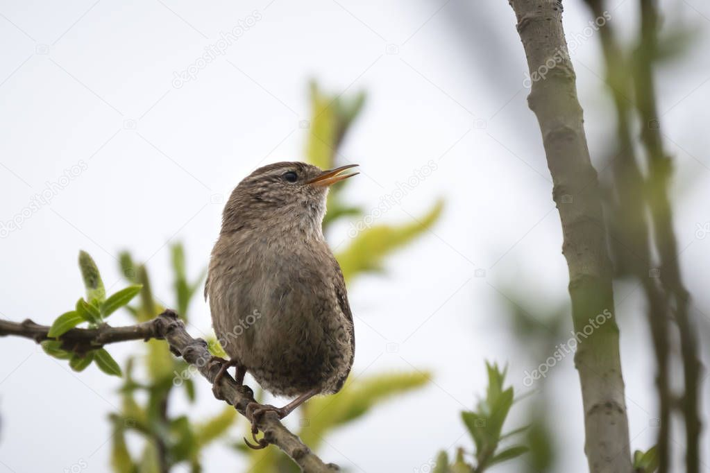 Eurasian Wren (Troglodytes troglodytes) bird singing in a forest during breeding Springtime season