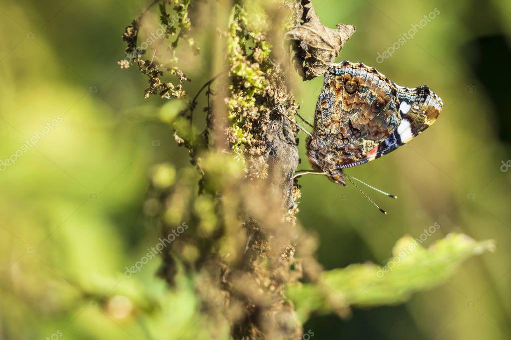 Red Admiral butterfly, Vanessa atalanta, resting