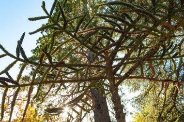 Russia, Crimea, Alupka 03 November 2018: Araucaria Chilean conifer in the park of Vorontsov Palace.