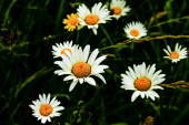 Chamomile daisy flowers wet after rain on dark key nature background. Herbal treatment medicine. Close up. Selective focus. Copy space